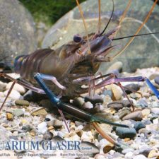 Giant River Prawn Achieves Excellent Prices in Seafood Markets