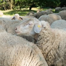 British Sheep Farmers After Brexit How Can They Survive